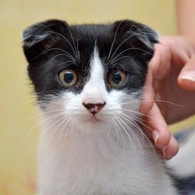 La question des hypertypes et des maladies génétiques liés à certaines races de chats