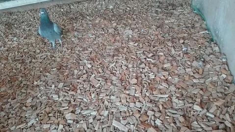 Zrębka dla gołębi i gryzoni