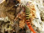 Vortragsabend im Oktober - Neotropische Taggeckos im Terrarium