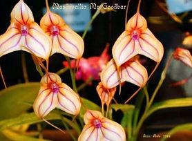 masdevallia_edited.jpg