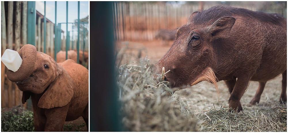 warthog and elephant drinking milk