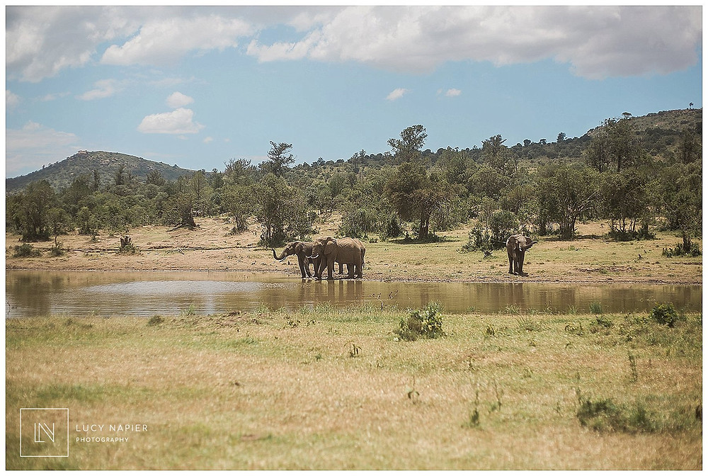 elephants graze at the watering hole Kenya Africa
