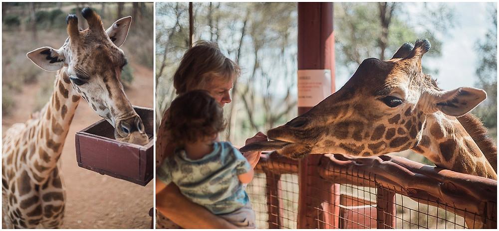 feeding the giraffes