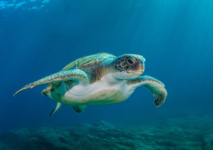 2019RFNHM_PDI_169 - Green Turtle by Alan Cranston. Highly Commended