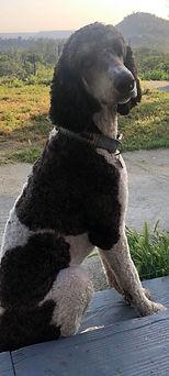 Bruno.Poodle.jpg