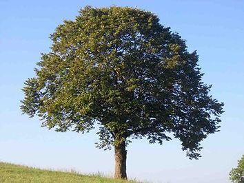 bel arbre, prè vert, ciel bleu