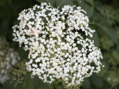 Elderberry & Elderflower As Medicine