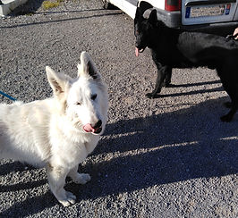 Black & White berger suisse et berger allemand