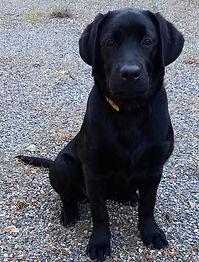 Raka 3 mois Labrador