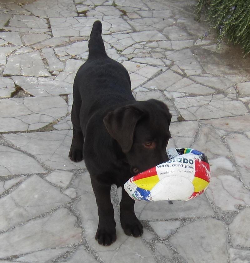 """Dressage ou éducation ? différence fondamentale !  l'éducation consiste à sociabiliser le chien dans son milieu de vie: (avec ses congénères, la famille, les enfants...etc) on lui apprend l'obéissance avec la place qui est la sienne dans votre environnement, l'éducation se fait avec le maître.  Le dressage consiste à """"former"""" un chien à un travail particulier: (chien d'aveugle, de sauvetage, recherche de substances etc.) Le dressage, en principe, ne se fait pas avec le maître puisqu'en générale celui-ci achète le chien déjà formé..."""