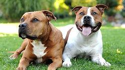 American-Staffordshire-Terrier.jpeg