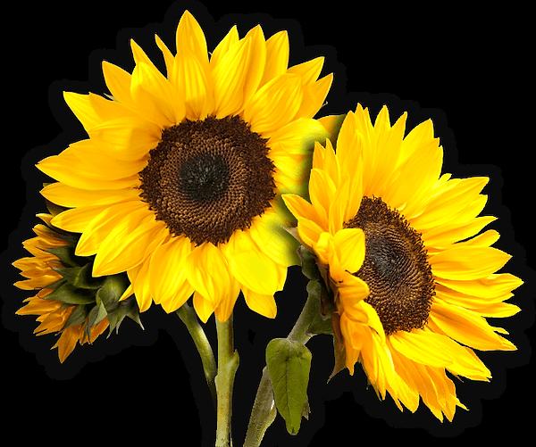 Translucent Sunflower logo (1).png