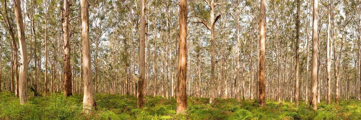 Boranup Forest BOR01e