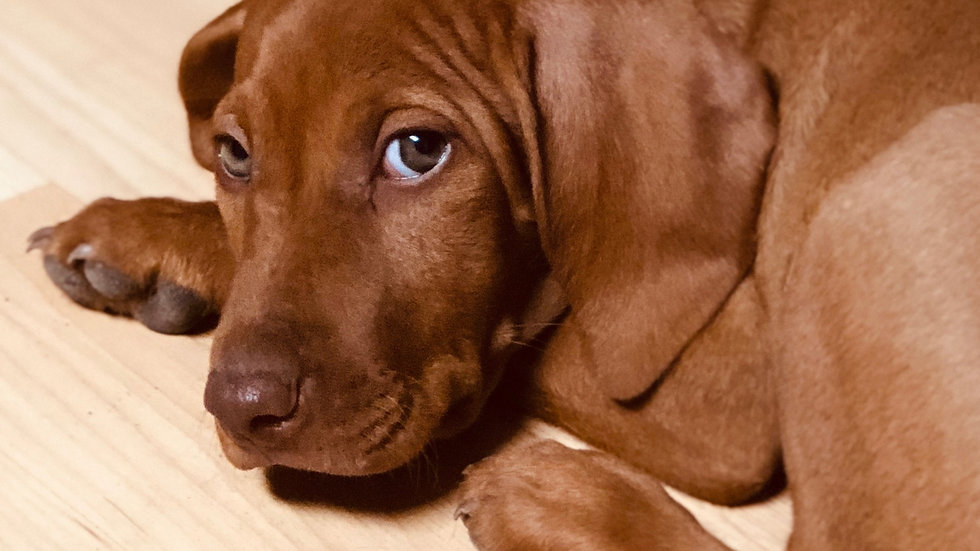 Vizsla Female