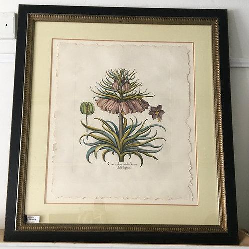 'Corona Imperialis Florum Classe Duplici' Framed Print