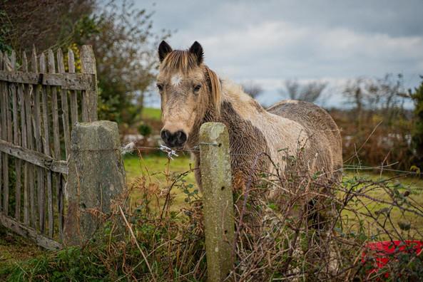 Normandy Horse