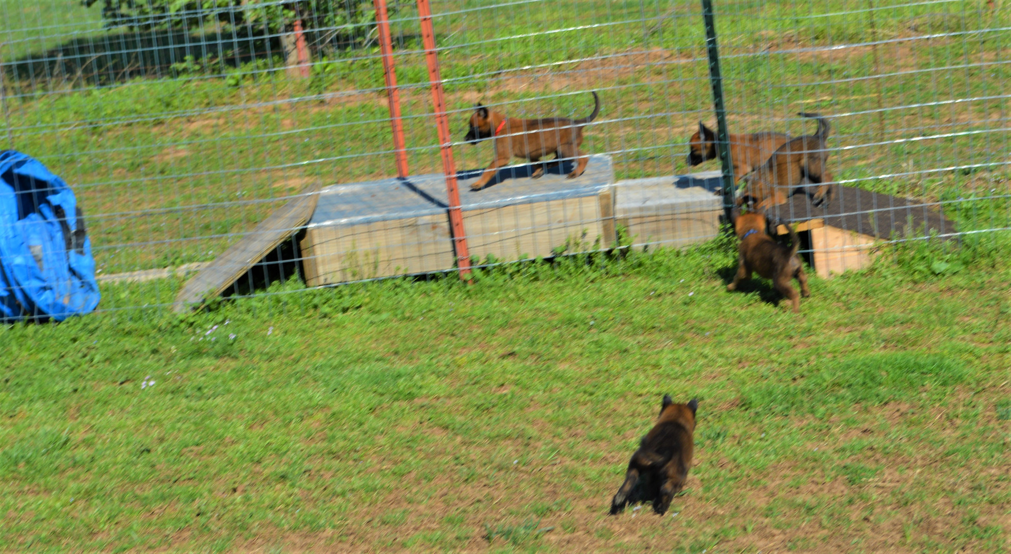 Grace pups obstacle day.JPG