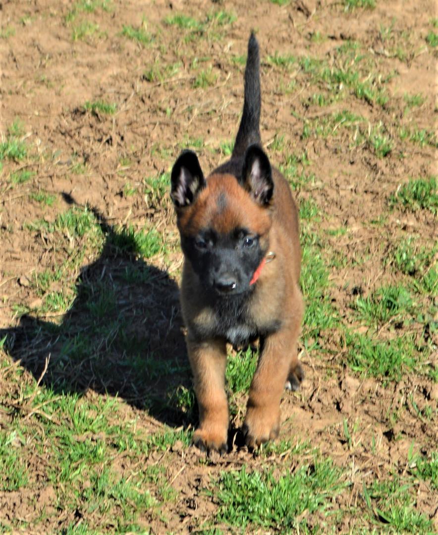 Grace pup red c 3-28-2020.JPG