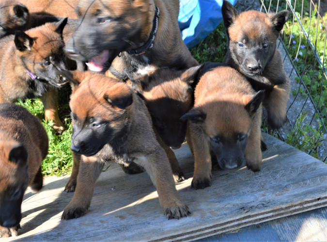 Grace pups obstacle 3-28-2020.JPG
