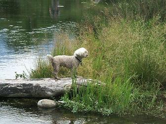 Pookie taking a dip.jpg