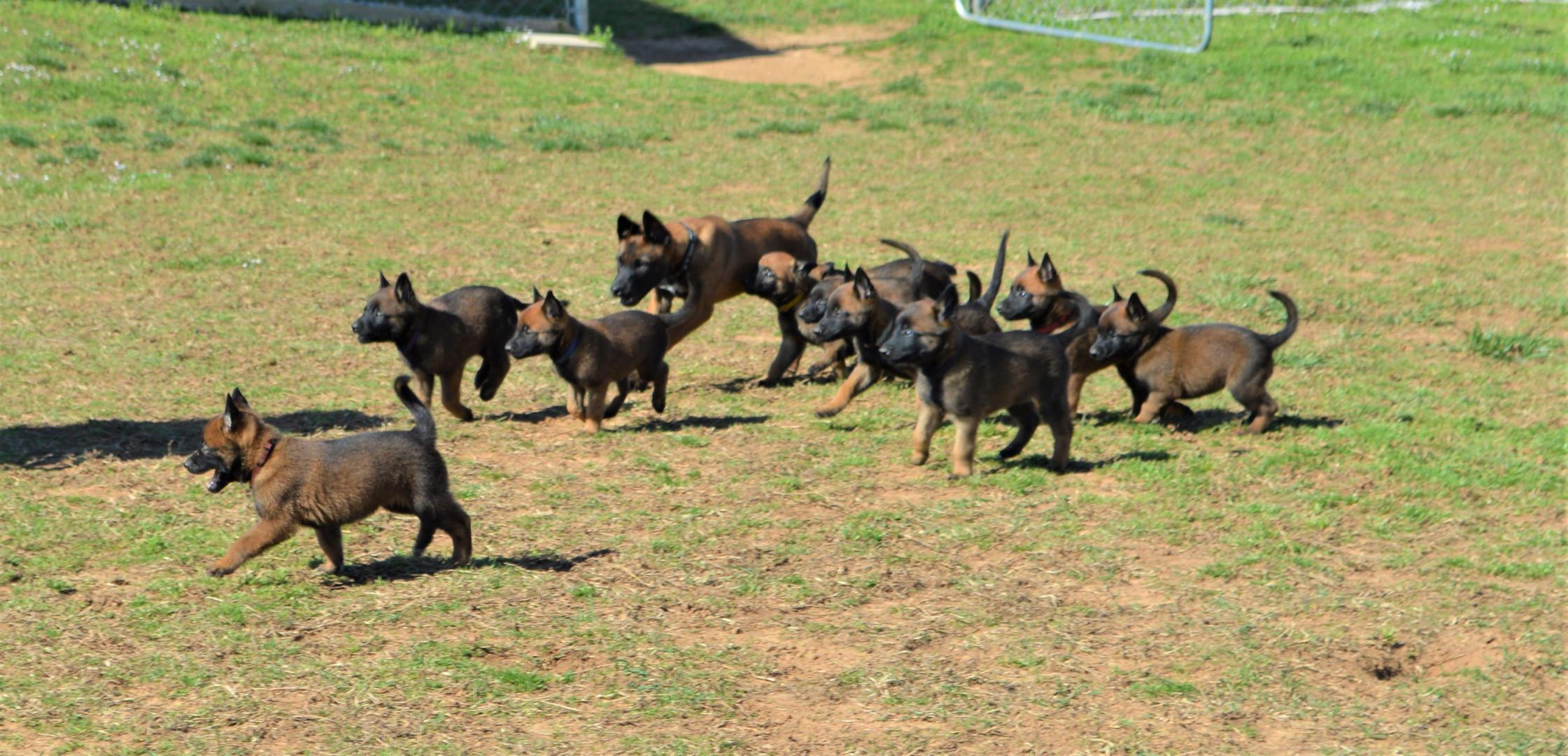 Grace pups running hard.JPG