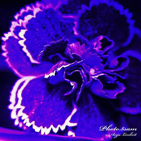 Nelke im Schwarzlicht