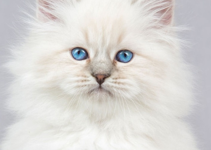 Siberian Kitten_edited.jpg