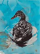 Swimmimg Duck-S.jpg