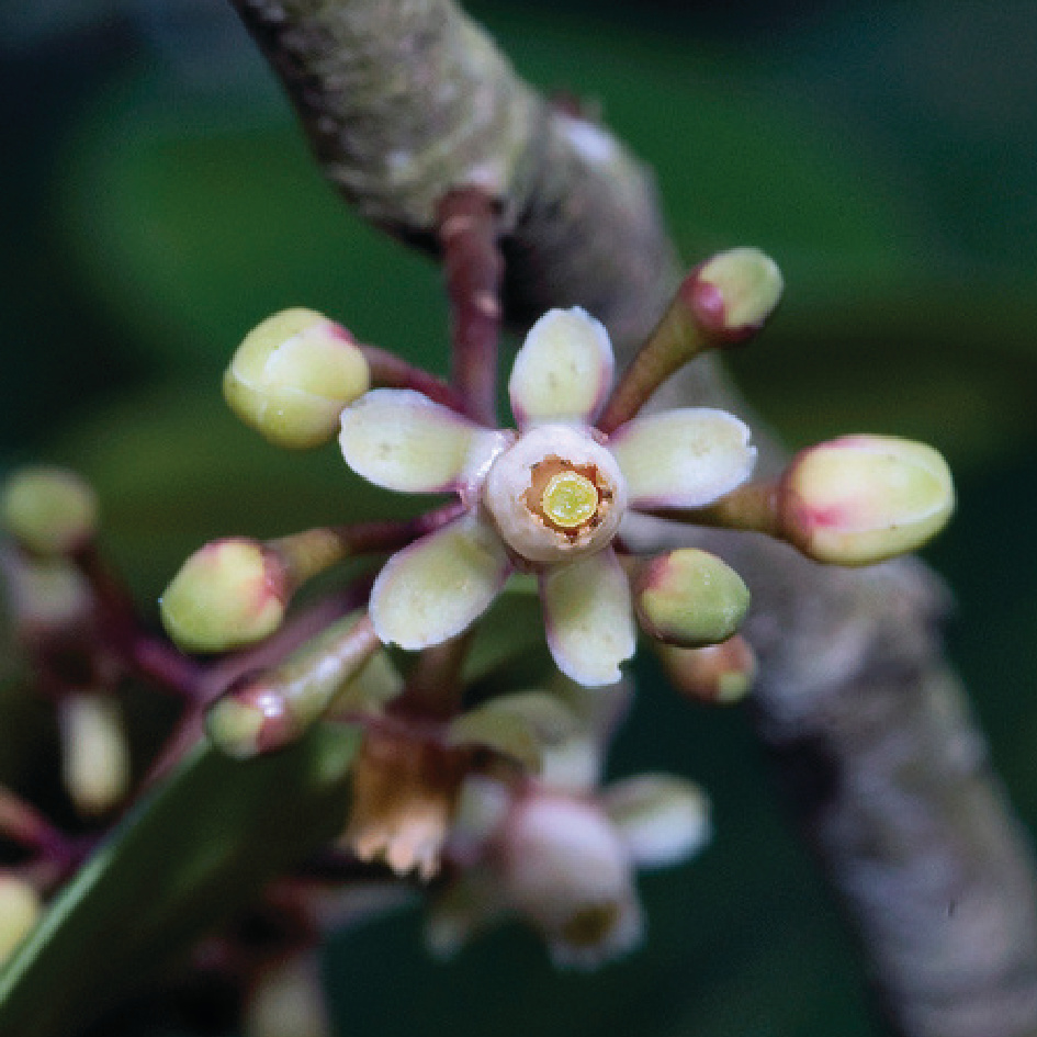 Xylocarpus Granatum 木果楝.jpg