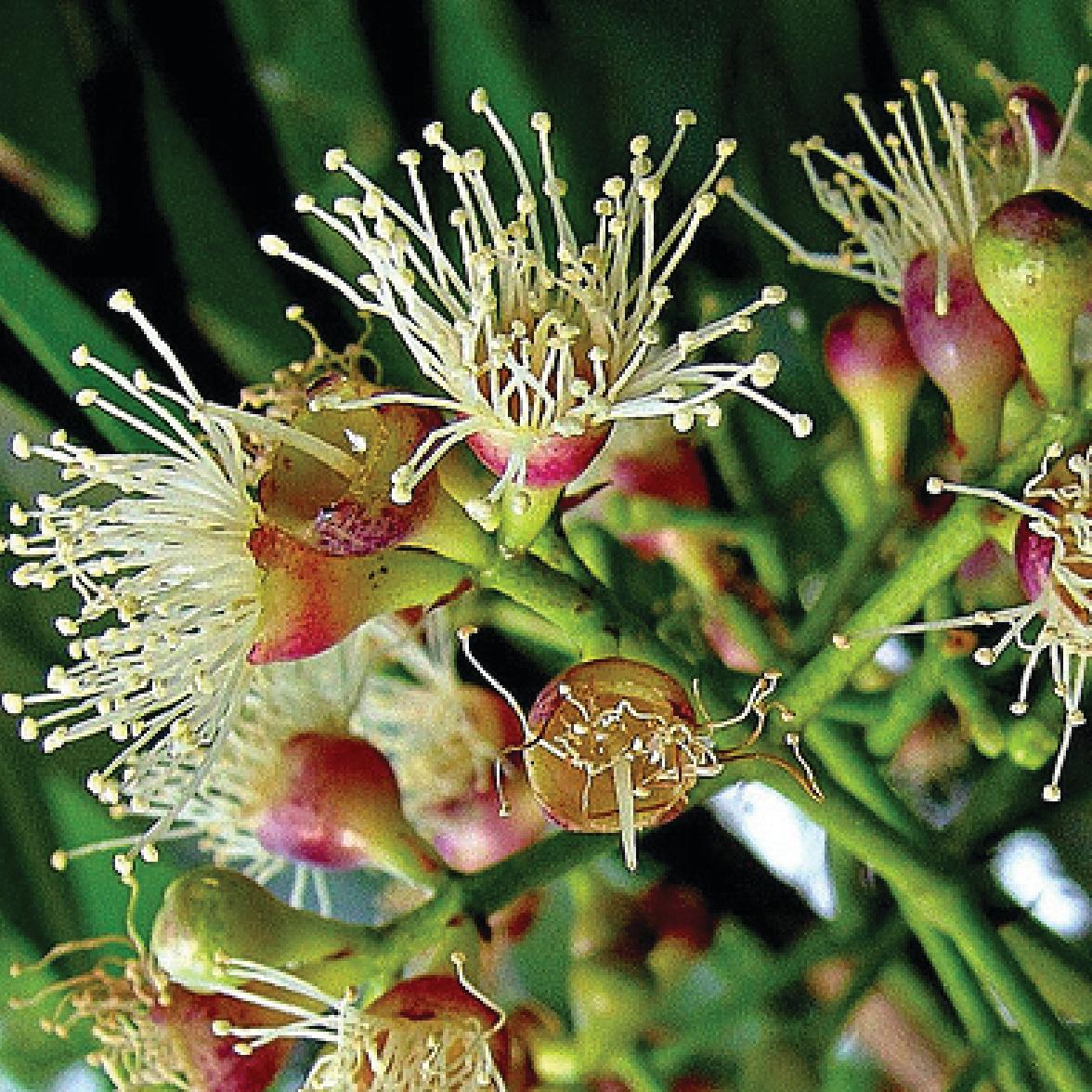 Syzygium Cumini 閻浮樹.jpg