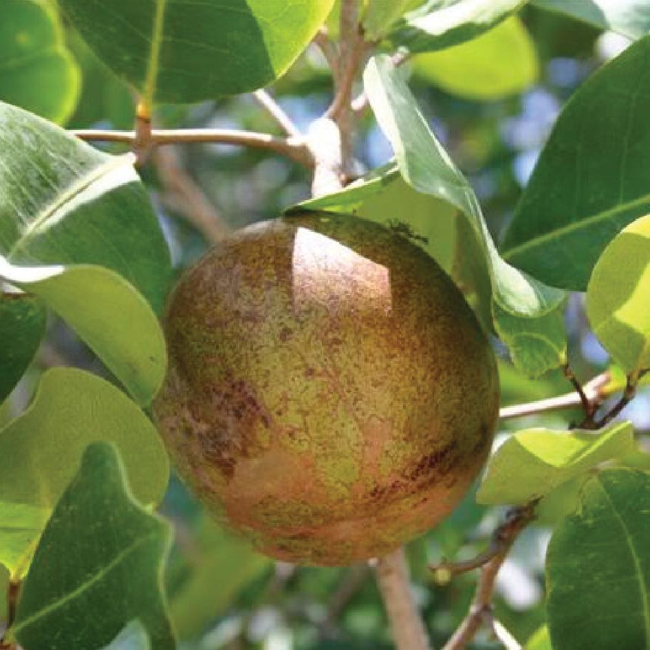 Xylocarpus Mekongensis 木果楝.jpg