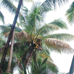 Cocos Nucifera 椰子.jpg