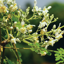Schleichera Oleosa 久樹.jpg