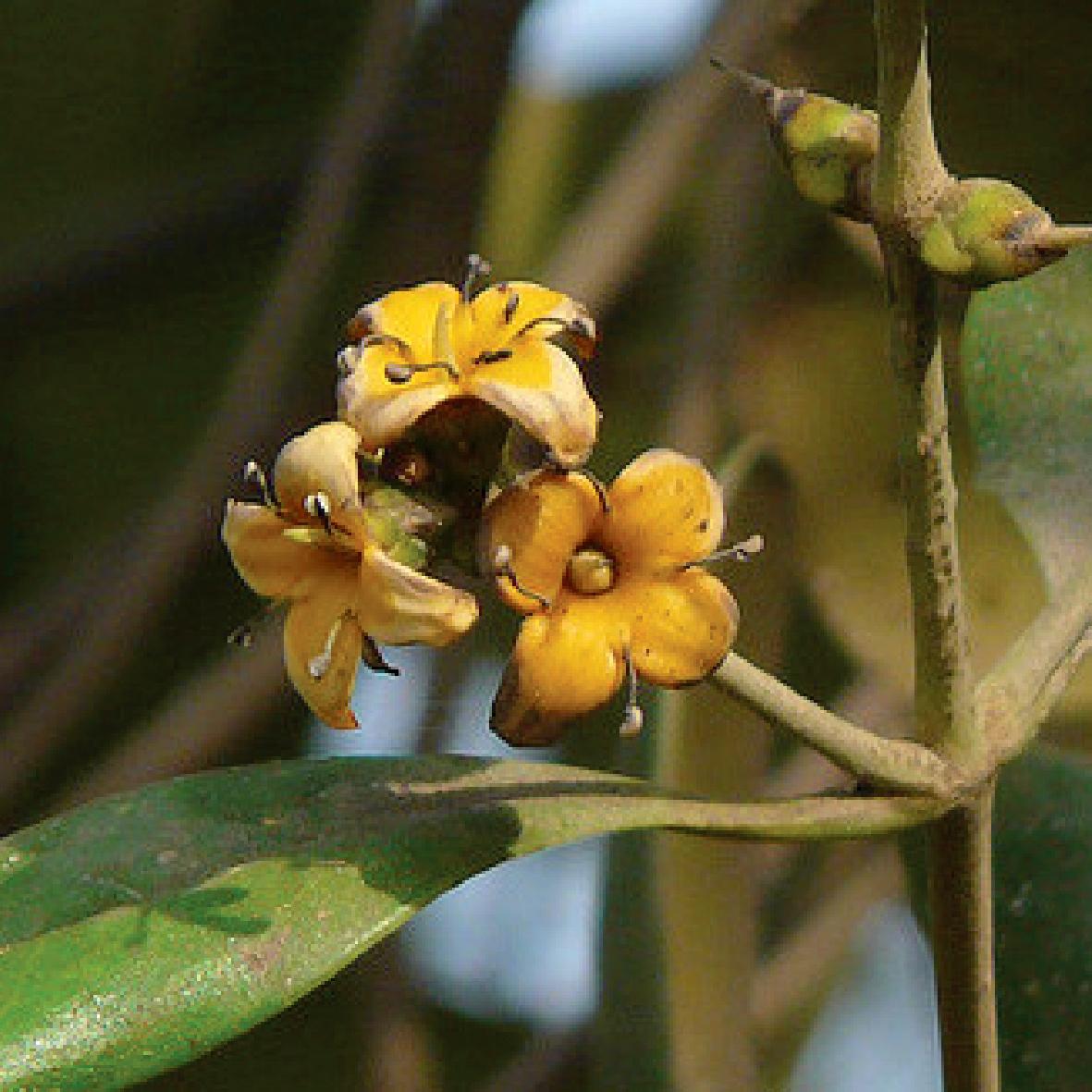 Avicennia Officinalis海茄苳.jpg