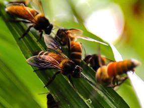 生物科研大發現:人類基因組的22對染色體竟然在 Apis Dorsata 亞洲大蜜蜂的基因組內找到!