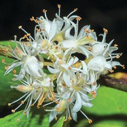 Cynometra Ramiflora 喃喃豆.jpg