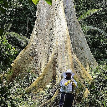 tualang tree.jpg
