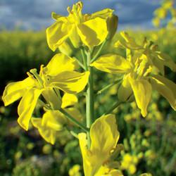 Brassica Rapa 菜心.jpg