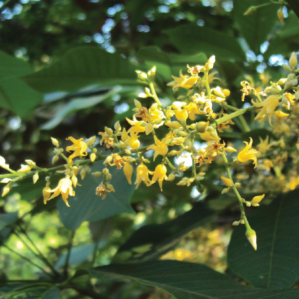 Hevea Brasiliensis 橡膠樹.JPG