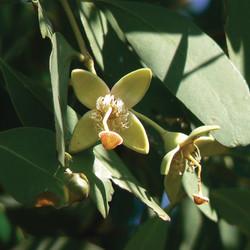 Sonneratia Apetala 無瓣海桑.jpg