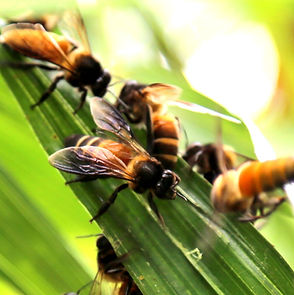 Apis Dorsata by Health Harvest Tualang Honey Specialty