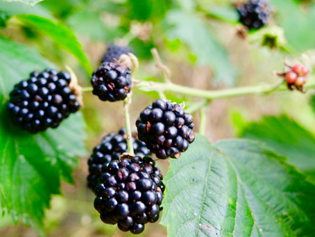 WDBNK.com's Plant Of The Month August 2018: The Blackberry
