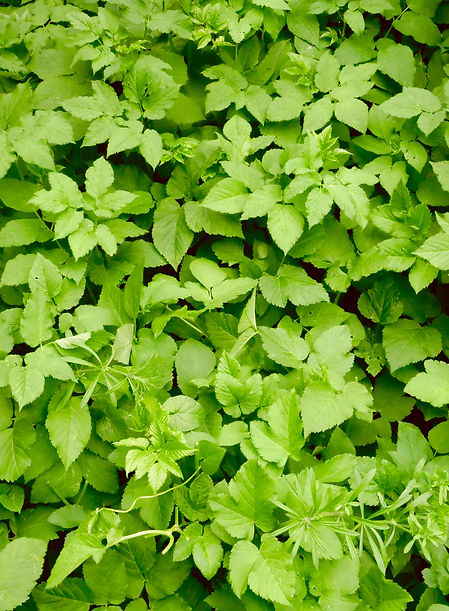 Ground Elder patch