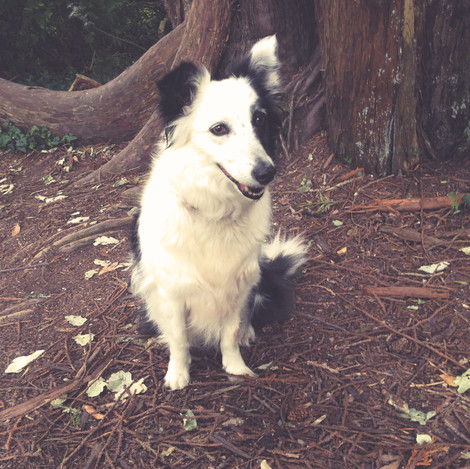 I'm Dusty, a 6 year old rescue Border Collie