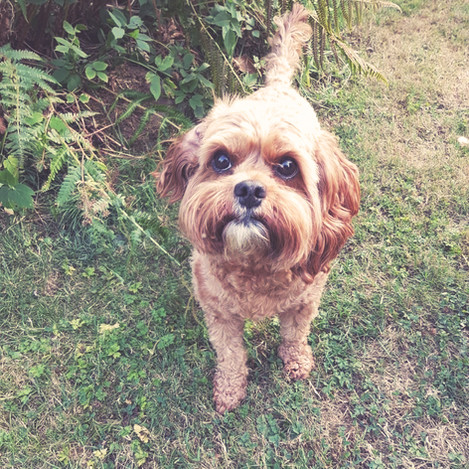 I'm Maggie a 3 year old Cavapoo