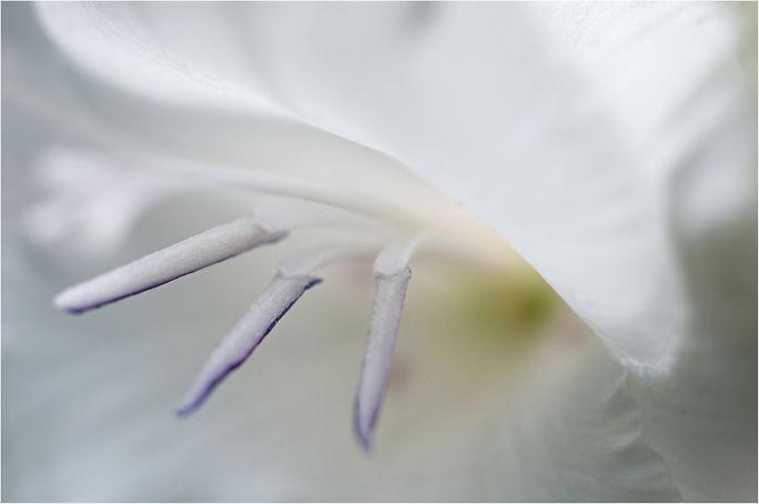 Gertrudes Gladiolus (1 of 1)psborder.jpg
