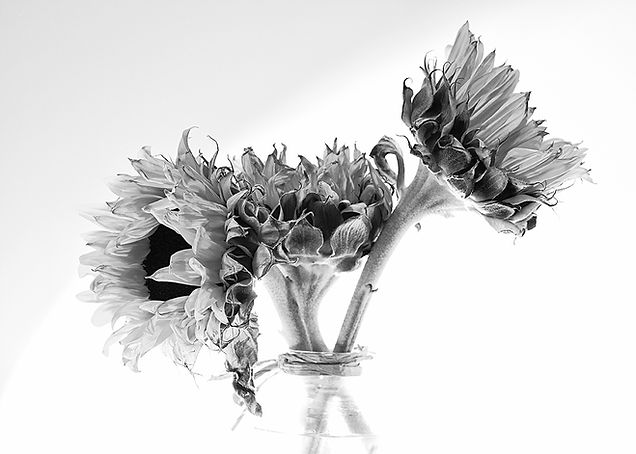 Inflorescence of Sunflowers