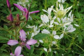 flowerbuds+plants+10.jpg