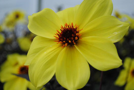 flowerbuds+yellow+dahila.jpg