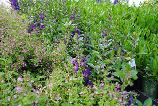 flowerbuds+purple+plants.jpg